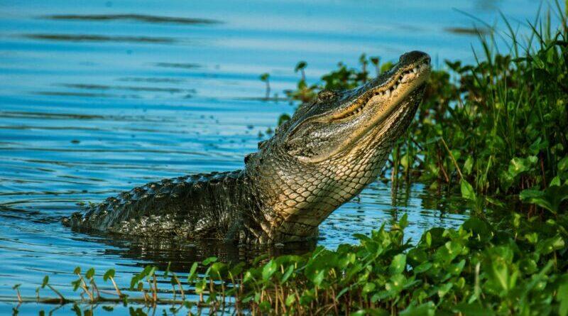Сказка о знаменитом крокодиле — слушать М. Пляцковского